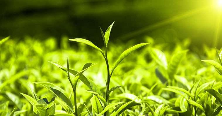 سفرچای از مزارع تا فنجان چای